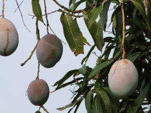 P1010837 300x225 Mango's te koop in de kliniek